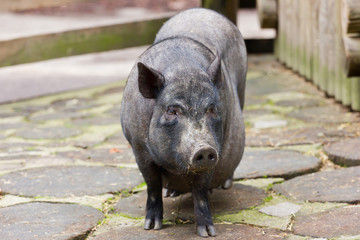 Potbelly Pig Standing