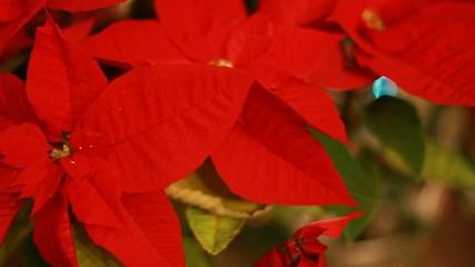Christmas star (Mexican flame leaf). Christmas tree.