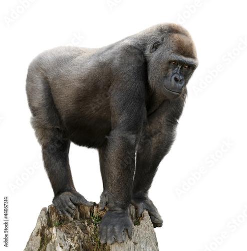 Fotobehang Aap Gorilla auf Ausguck, Freisteller