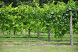 Wine Grape Vineyard