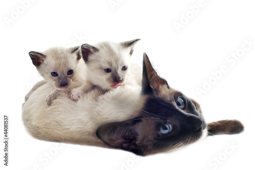 Siamese kitten and mother