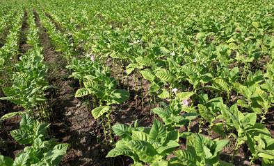 Tobacco farm.