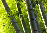 Fototapeta Bamboo forest background. Shallow DOF