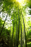 Bamboo forest background.