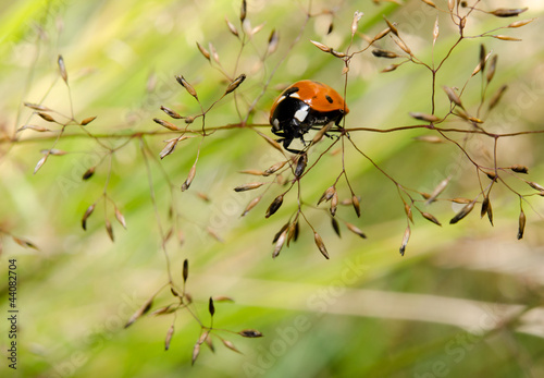 small ladybird, summer evening