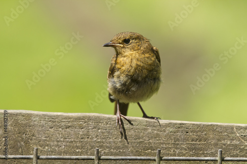 Juvenile Robin against natural background