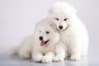 Two funny puppies of Samoyed dog