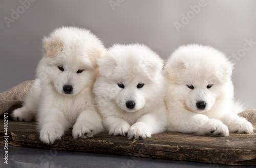 funny puppies of Samoyed dog
