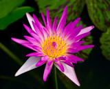 The Beautiful lotus  on pond