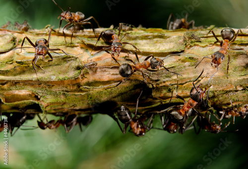 branch with aggressive red wood ants