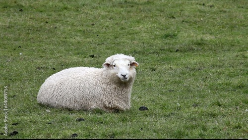 Sheep chewing grass on farm field