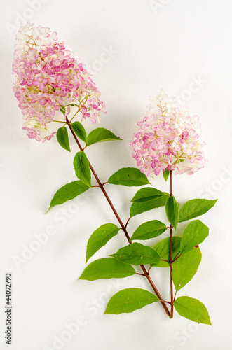 hydrangea paniculata hortensia vanille fraise 39 renhy 39 de. Black Bedroom Furniture Sets. Home Design Ideas