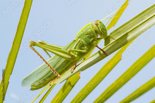 Large grasshopper, eating grass