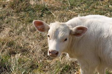 Vaca mirando hacia arriba