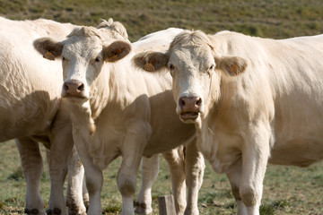 Dos vacas mirando de frente