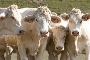 Cuatro vacas mirando de frente
