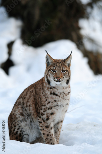 Europaeischer Luchs, Winter