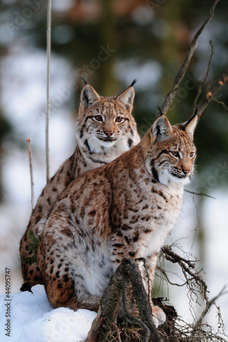 Luchs, Winter