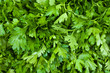 Close up shot of fresh parsley leafs