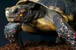 Red-footed tortoise / Chelonoidis carbonaria
