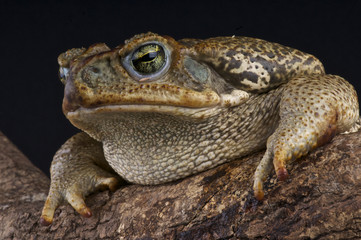 Giant toad / Bufo paraguayensis
