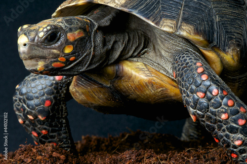 Poster Schildpad Red-footed tortoise / Chelonoidis carbonaria