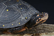 Spotted turtle / Clemmys guttata
