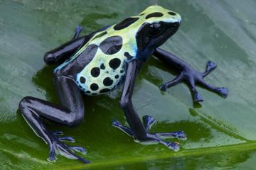 Dyeing dartfrog / Dendrobates tinctorius