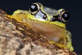 White treefrog / Heterixalus madagascariensis poster