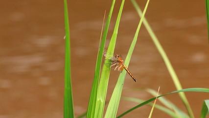 dragonfly on grass leaf near river