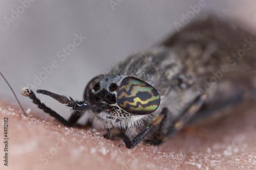 Common horsefly, haematopota pluvialis sucking blood
