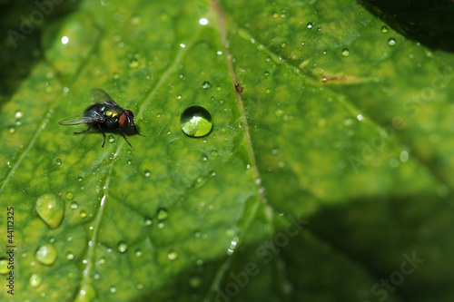 Common Fly On leaf With Water Drops