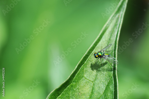 Green Long-Legged Fly on a Leaf