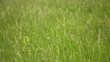 grass in the meadow