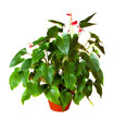 Anthurium  in  pot. Isolated on white