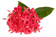 Pink Ixora flower isolated on white background