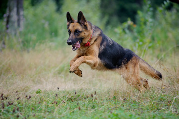 german shepherd runs free