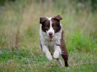 border collie runs