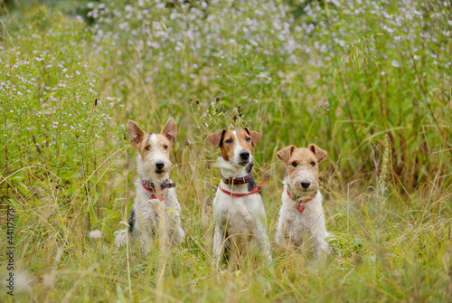 three fox terriers in the grass