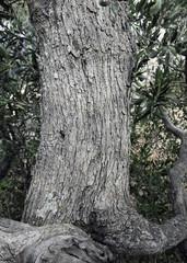 alter Olivenbaum Rinde