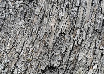 Olivenbaum Rinde Hintergrund
