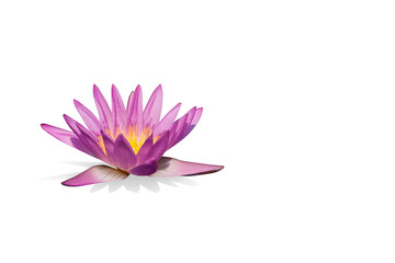 Pink water lily  isolated with clipping path