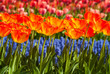 Rows of colorful tulips and grape hyacinths in spring