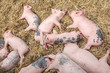 Newborn pigs sleeping on hay