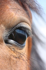 Brown horse eye