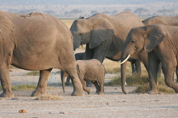Elephants' family