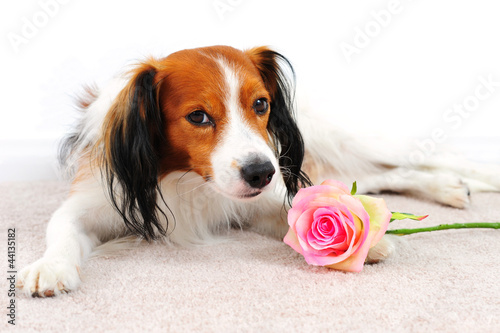 Dog with Pink Rose Laying on a Carpet Floor