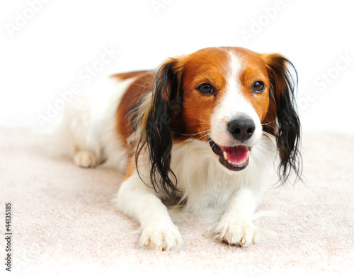 Handsome Dog Laying on Carpet Floor