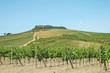 Vista di un vigneto toscano, Toscana, Italia
