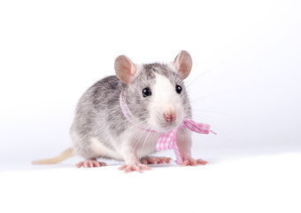 little rat with a pink bow on white background